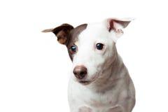 Śliczny pies Obrazy Stock