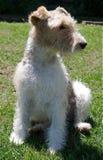 śliczny pies Zdjęcie Stock