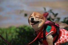 Śliczny pies jest ubranym koszula Fotografia Royalty Free
