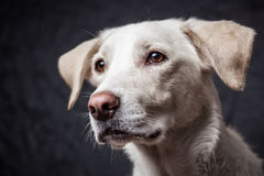 Śliczny pies w studiu Zdjęcie Royalty Free