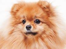 Śliczny Pomorski spitz pies Obraz Royalty Free