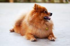 śliczny psi pomeranian Obrazy Royalty Free