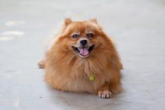 śliczny psi pomeranian Obraz Royalty Free