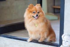 śliczny psi pomeranian Zdjęcie Royalty Free