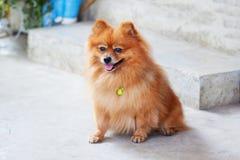 śliczny psi pomeranian Zdjęcia Royalty Free