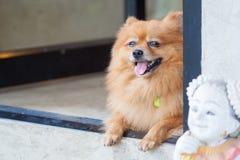 śliczny psi pomeranian Fotografia Stock