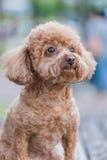 śliczny psi pudel Zdjęcia Royalty Free