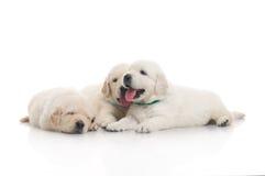 śliczny psi szczeniak mali trzy Zdjęcie Stock