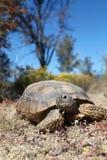 Śliczny Pustynny Tortoise Zdjęcia Stock