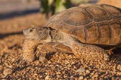 Śliczny Pustynny Tortoise w Arizona Zdjęcia Stock