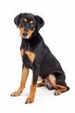 Śliczny Rottweiler Crossbreed szczeniaka psa obsiadanie Fotografia Stock