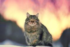 Śliczny siberian kot Fotografia Stock