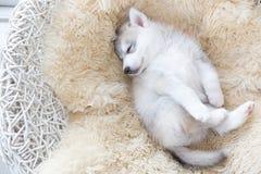 Śliczny Syberyjskiego husky szczeniak Zdjęcie Royalty Free