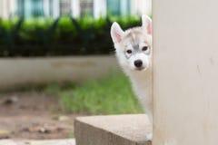 Śliczny Syberyjskiego husky szczeniak Fotografia Royalty Free
