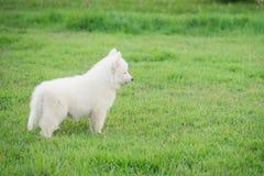 Śliczny Syberyjskiego husky szczeniak Zdjęcia Royalty Free