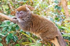 Śliczny szary bambusowy lemur Obraz Royalty Free