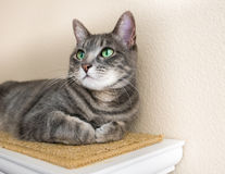 Śliczny szary tabby kot z zielonymi oczami obraz royalty free