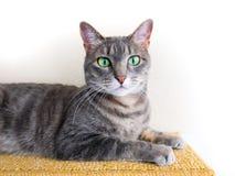 Śliczny szary tabby kot z zielonymi oczami zdjęcia stock