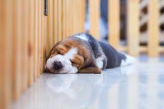Śliczny szczeniaka Beagle dosypianie Obrazy Royalty Free