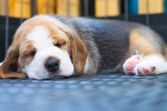 Śliczny szczeniaka Beagle dosypianie Zdjęcia Royalty Free