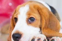 Śliczny szczeniaka Beagle pobytu puszek Obrazy Stock
