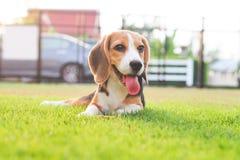 Śliczny szczeniaka Beagle pobytu puszek Obrazy Royalty Free