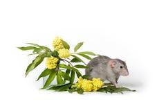 ?liczny szczur na bia?ym odosobnionym tle Blisko delikatnych wildflowers Symbol 2020 s?odkie zwierz?tko zdjęcie royalty free