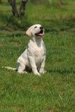 śliczny trawy labradora szczeniaka obsiadanie Obraz Stock