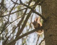 śliczny wiewiórczy drzewo Obrazy Stock