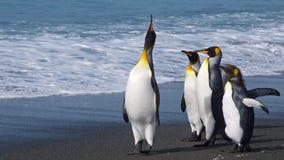 Lider paczka, królewiątko pingwiny w Południowym Gruzja Zdjęcie Stock