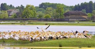 Lider pelican Royalty Free Stock Photos