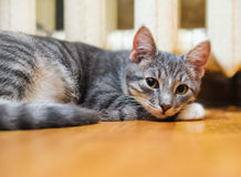 Lie down domestic lazy short-haired young whiskered cat Stock Photos