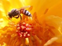 Liebe der Honigbiene Stockfotografie