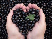 Liebe für Schwarze Johannisbeere Stockfotos