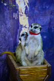 Liebe meerkats Stockbild