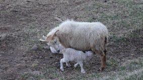 Liebe Neue Geburts-Baby-Lämmer mit Mutter stockfotografie