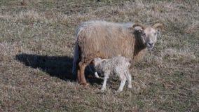 Liebe Neue Geburts-Baby-Lämmer mit Mutter auf Wiese lizenzfreies stockbild