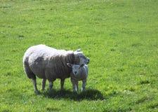 Liebende Schafe mit ihrem Babylamm lizenzfreie stockbilder