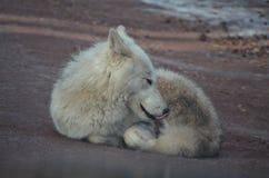 Liebenswürdiger kleiner weißer Wolf On ein Strand Stockbilder