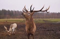 Lieber Hirsch in der Natur Stockbilder