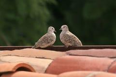 Liebes-Tauben Stockbilder