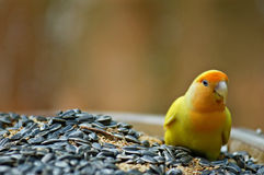 Liebes-Vogel auf einer Schüssel Körnern Stockbilder