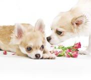 Liebesgeschichte, Paar der Chihuahuawelpen mit Rosen Lizenzfreies Stockfoto