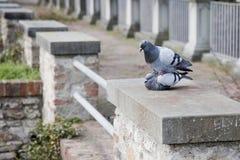Liebesgeschichte zwischen Tauben Stockfoto