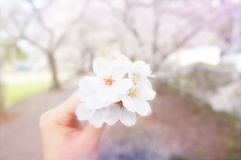 Liebeskirschblüte in Japan stockfotos
