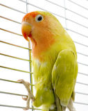 Liebesvogel Lizenzfreie Stockbilder