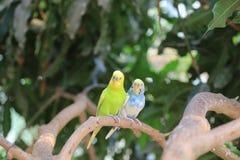 Liebesvogel auf Baum Lizenzfreie Stockfotografie