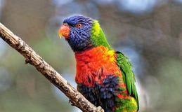 Liebesvogel, der allein auf dem Stamm sitzt Lizenzfreie Stockfotografie