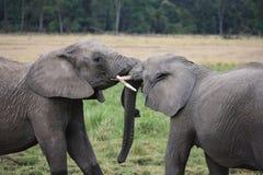 Liebevolle Elefantnotenstämme Stockfotografie