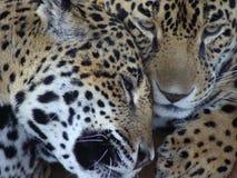 Liebevolle Jaguar-Paare Stockfoto